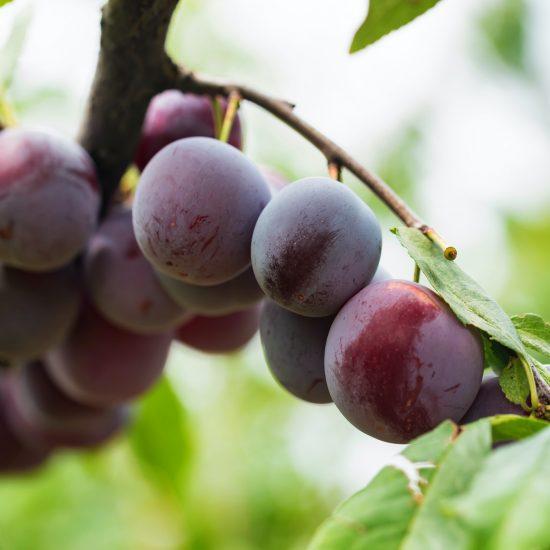 Ripe cherry plums on tree branch close